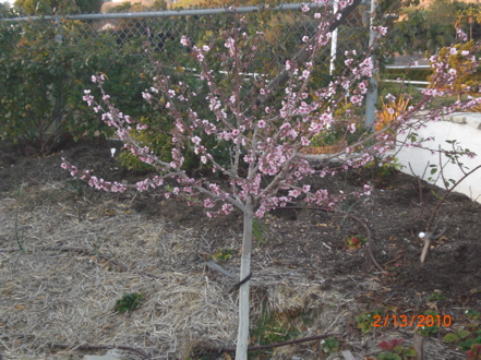 Peach tree thinning